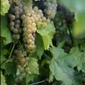 Romania vinuri ieftine somelier.ro