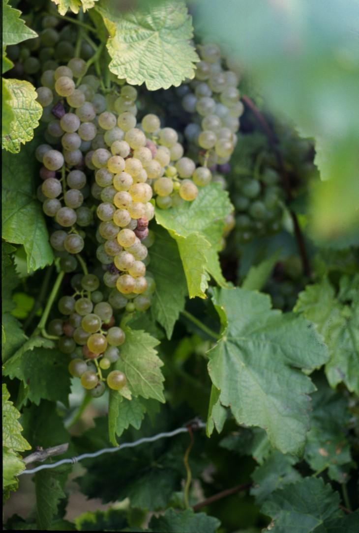 În România se vând vinuri  ieftine